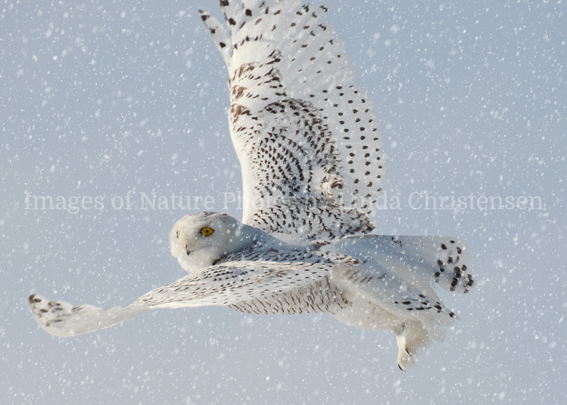 Snowy Owl Looking at You, Snowing