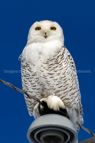 Snowy Owl I See You