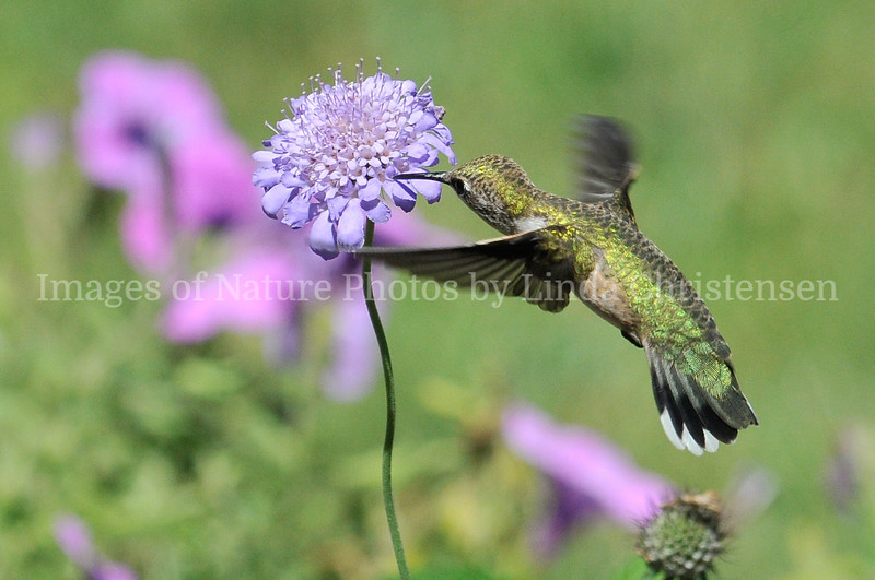 Hummer Sipping Nectar