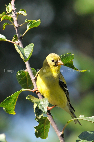 GoldFinch in Tree p