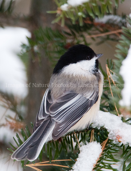 Chickadee in Winter Looking Right