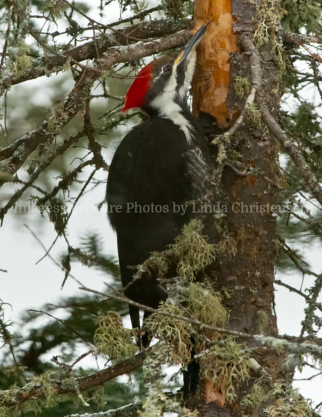 Pileated Female, Licking up Insects