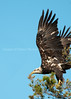 Almost Mature Eagle Taking Off