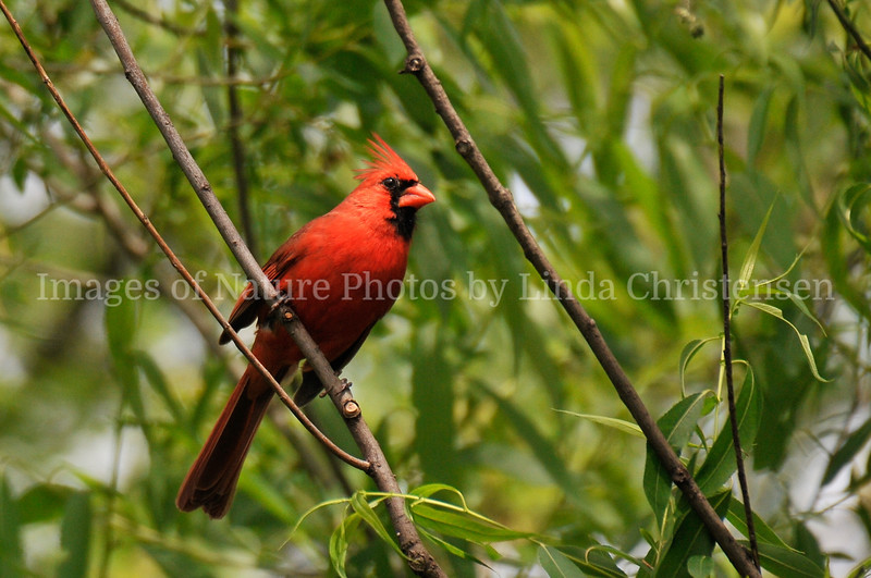 Cardinal in Willow