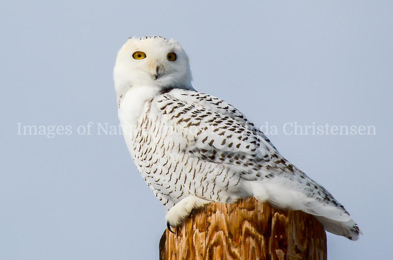 Snowy Owl Looking at You