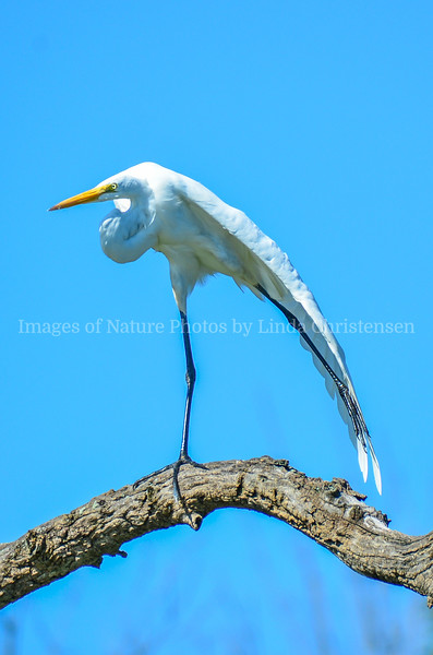 Common Egret Drying Wing