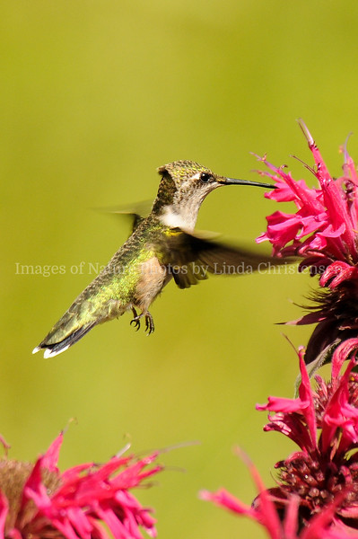 Hummer Bad Feather Day