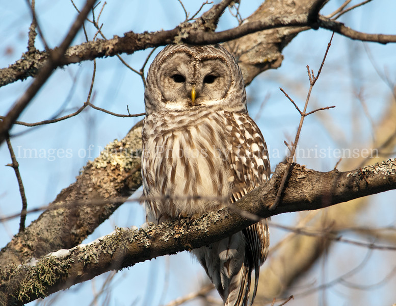 Barred Owl Who's Watching