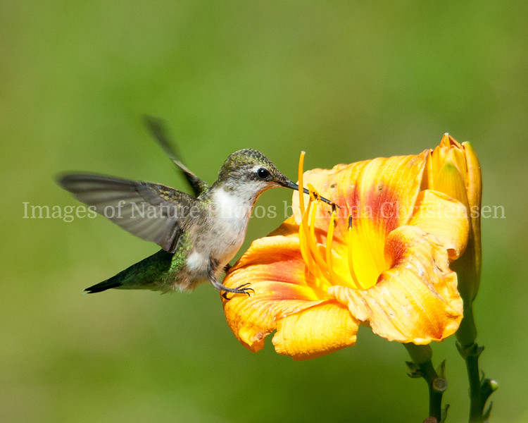 Hummingbird Touchdown on Day Lily