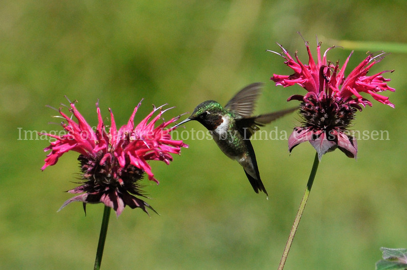 Male Hummer between Blossoms