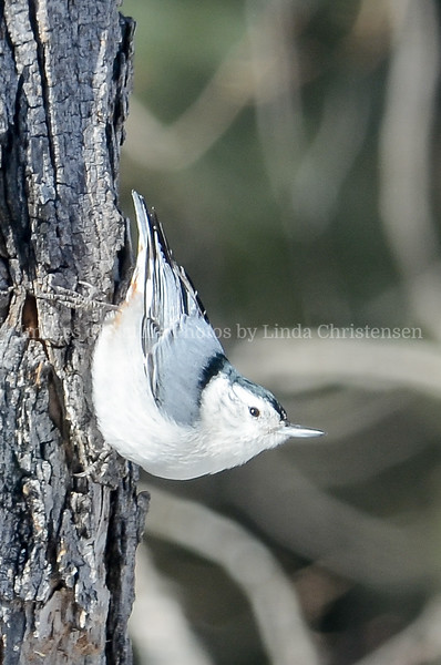 Got Me, White Breasted Nuthatch