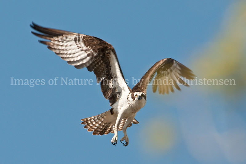 Osprey Coming In to Land
