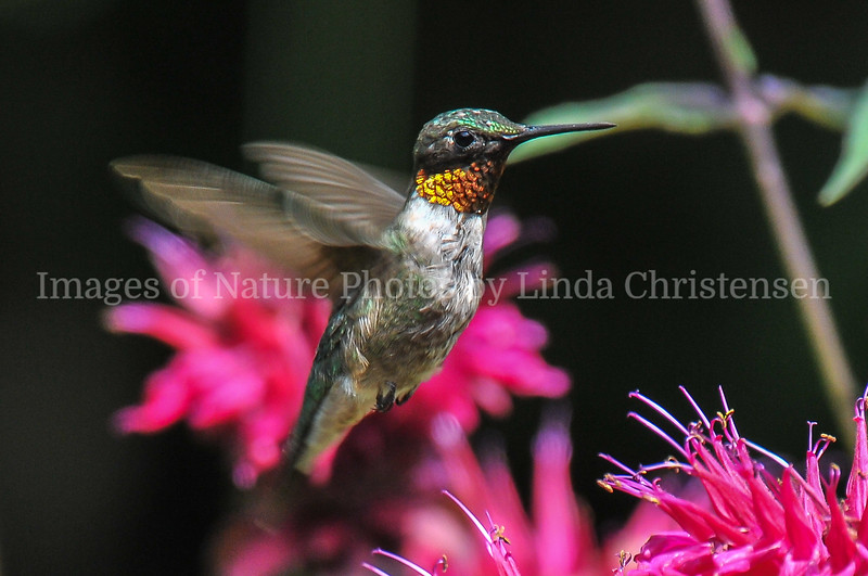 Male Hummer Up Close