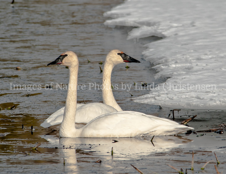 Trumpeter Swan Bookends