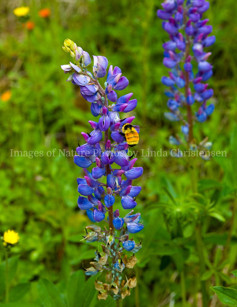 Lupines in Spring 6