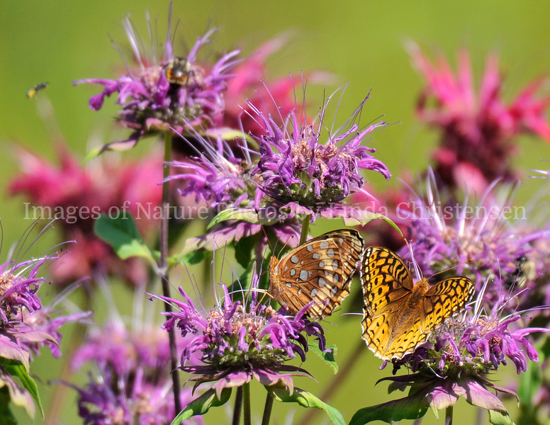 Great Spangled Fritillary Male Fire Works