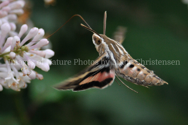 White Lined Sphinx Moth in White Lilac
