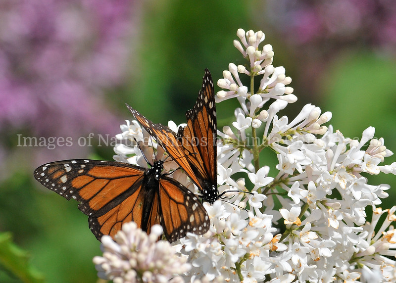 Monarch Pair in White Lilacs