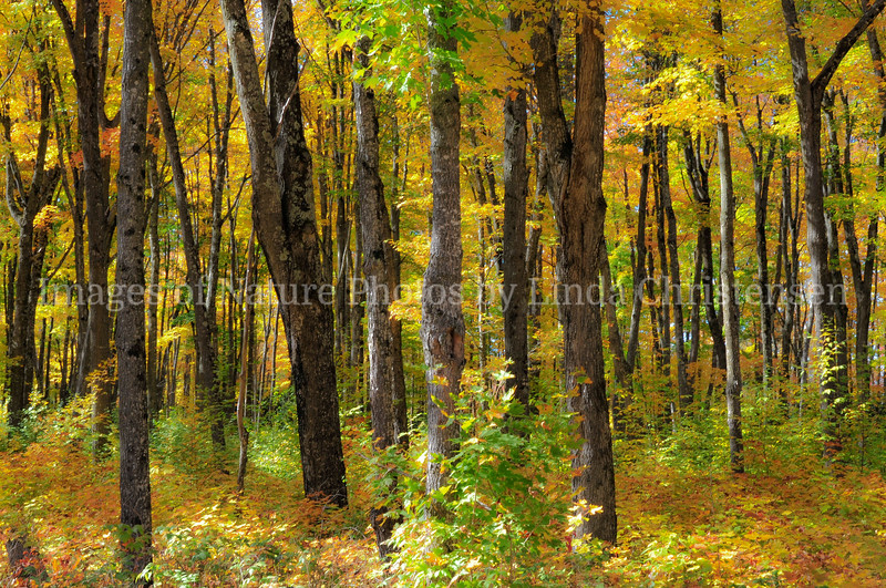 Maple Gold Forest