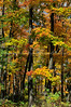 Autumn Maple Forest