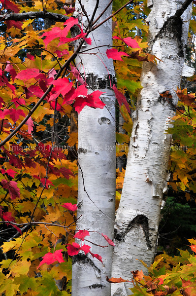Red Leaves and Birch p