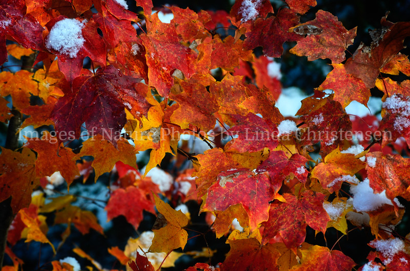 Red Snow Covered Leaves
