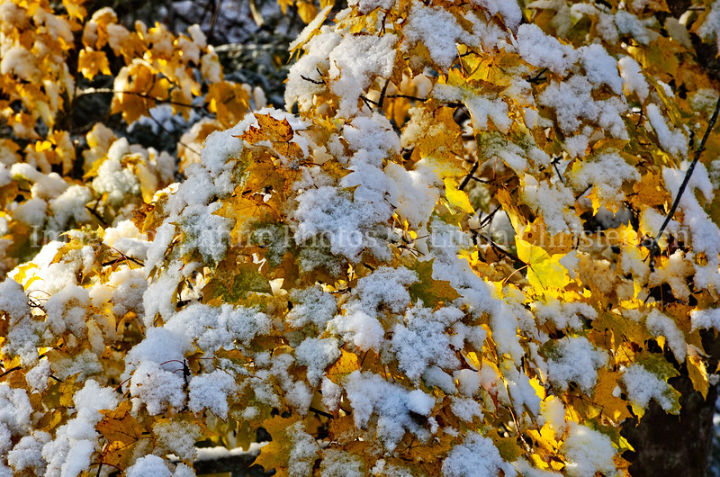 Golden Snow Covered Leaves