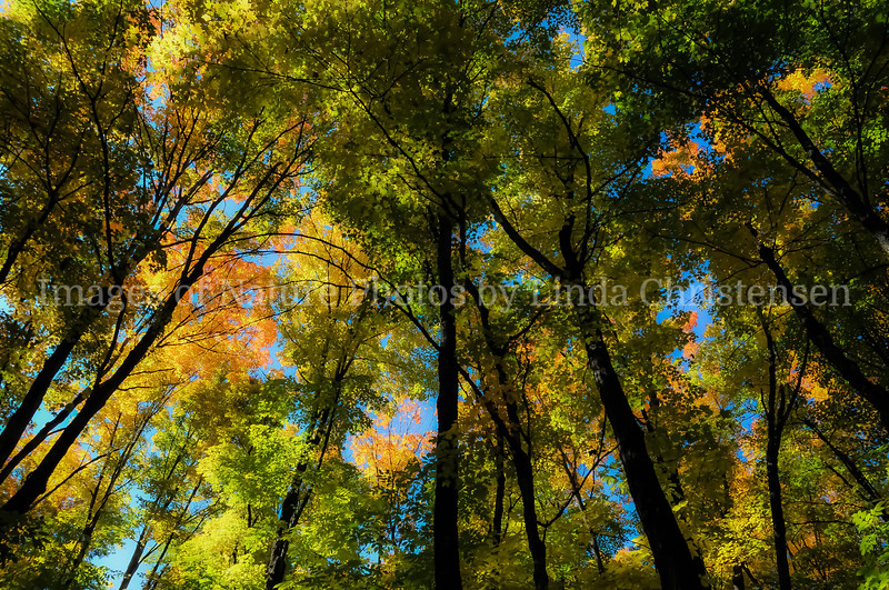 Autumn Forest Canopy