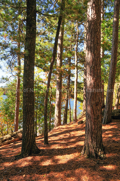 Trout Lake Tall Pines