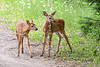 Fawn Twins Playing