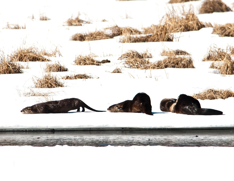 Otters Resting