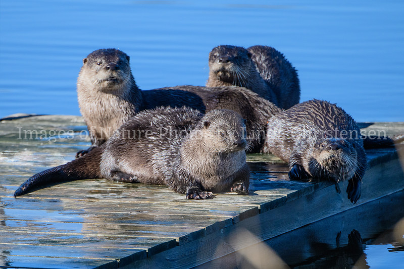 4 Otters on Deck