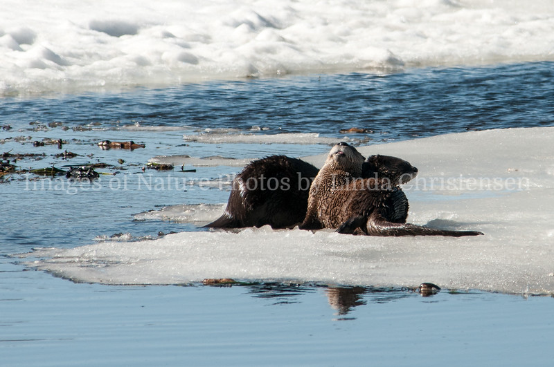Otters Basking in the Sun