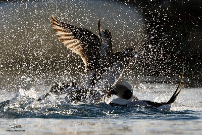 Harelde boréale mâle et femelle/Male & female Long-tailed duck