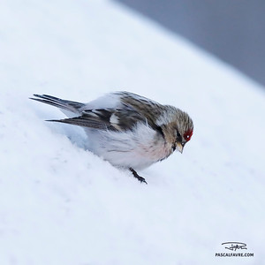 Sizerin blanchâtre/Arctic redpoll