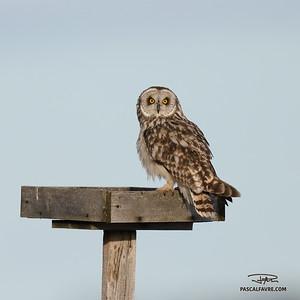 Hibou des marais/Short-eared owl