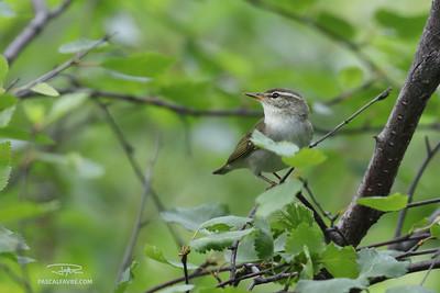 Pouillot boréal/Arctic warbler