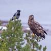 Third-year White-tailed Eagle