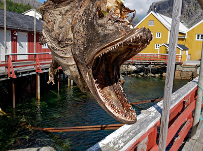 Cod fish head in Nusfjord