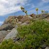 Artemisia norvegica