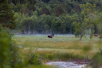 Moose, Nordland, Norway