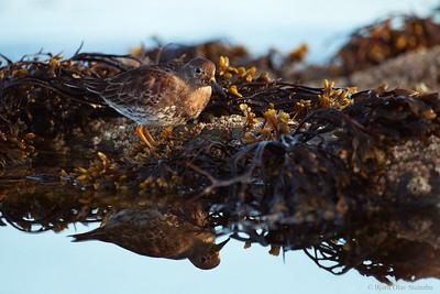 Fjæreplytt / Purple Sandpiper (Calidris maritima)