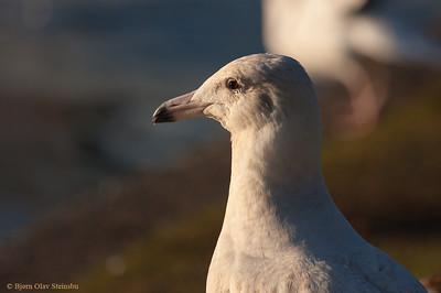 Polarmåke / Glaucous Gull (Larus hyperboreus)