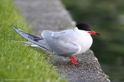 Makrellterne / Common Tern (Sterna hirundo)