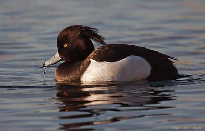 Toppand / Tufted Duck (Aythya fuligula), ♂.