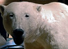 Polar bear, Svalbard Museum, Longyearbyen, Spitzbergen, 8 June 2008