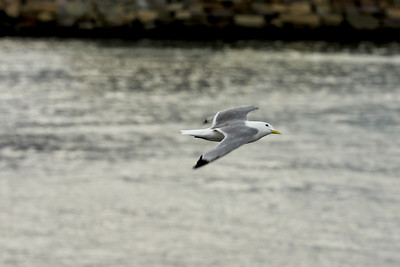 Seagull, Båtsfjord Havn, Båtsfjord, Troms og Finnmark, Norway