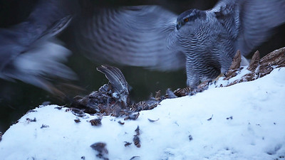 A female Goshawk displaces a male feeding on a Black Grouse