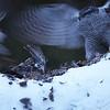 A female Goshawk displaces a male feeding on a Black Grouse