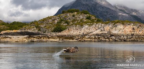 Elusive Eagle Of The Fjords (Arctic Circle, Lofoten, Norway)